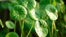 Centella Asiatica – Foto: errorfoto/iStock