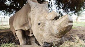 Il rinoceronte Sudan è morto all'età di 45 anni (Foto: LaPresse/XinHua)