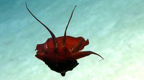 Una nuova specie di calamaro? (Foto: oceanexplorergov/YouTube)