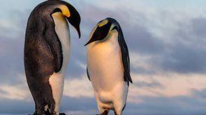 Due esemplari di pinguino imperatore (Foto: Mario_Hoppmann/iStock)