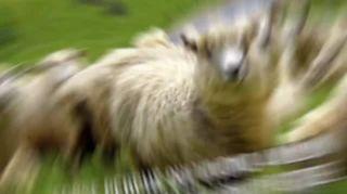 Quando la tosatura delle pecore diventa uno sport